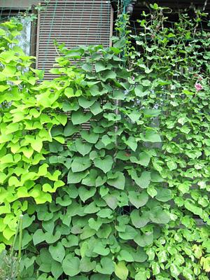 piante rampicanti sulla rete di sostegno